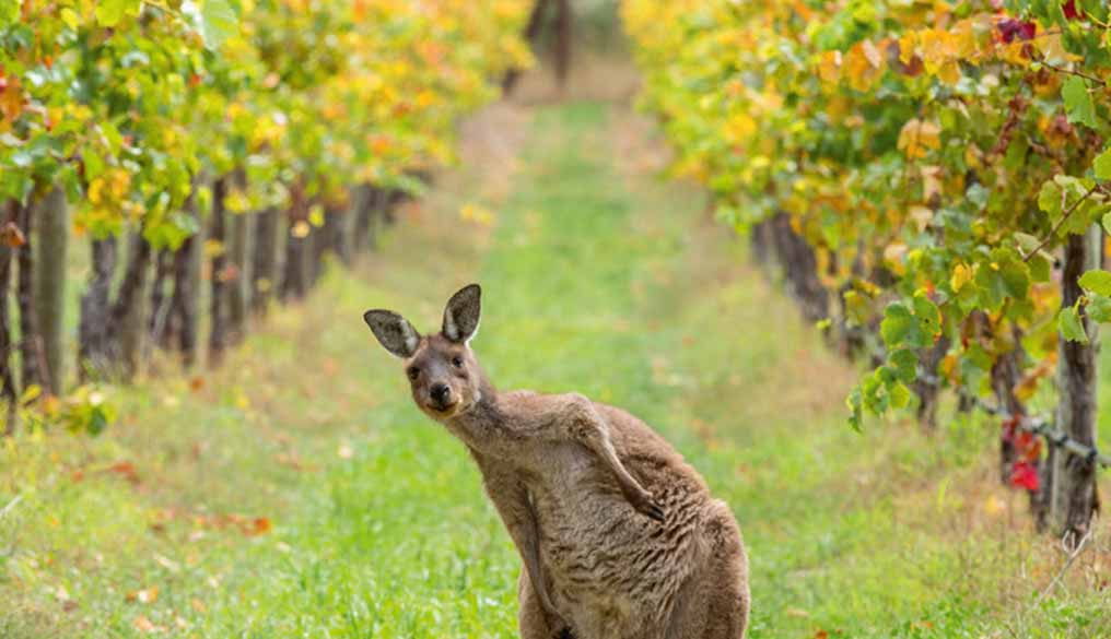 Kangaroo in Vineyards